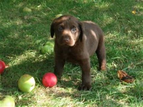 chocolate lab puppies mn chocolate lab puppies rescue mn thin