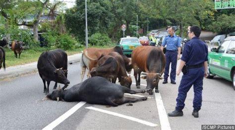 Maze Kepala Hewan mengharukan kawanan sapi ini enggan tinggalkan rekannya yang tewas kabar berita artikel