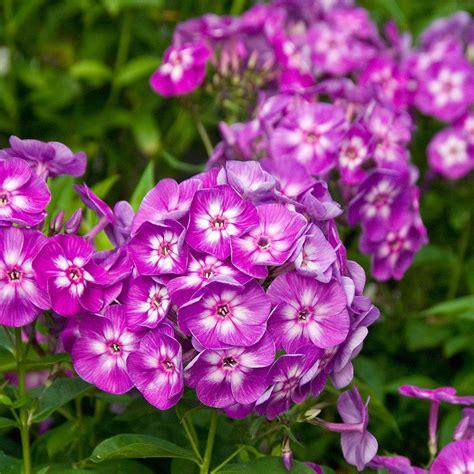 In Home Herb Garden by Phlox Paniculata Laura White Flower Farm