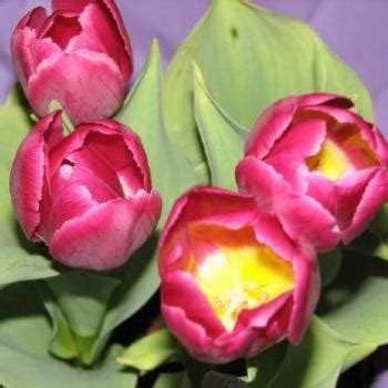 tulips net kate free online jigsaw puzzles