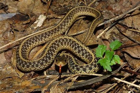 Garden Snake Island 10 Interesting Garter Snake Facts My Interesting Facts