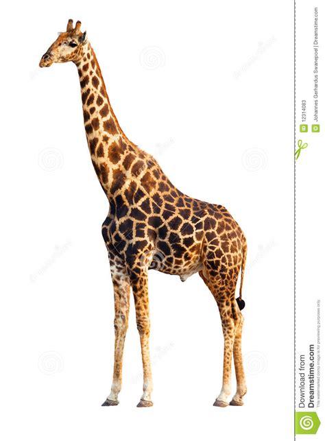imagenes jirafas jirafa aislada imagen de archivo imagen de recorte