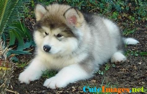 alaskan names for dogs alaskan malamute puppy name cuteimages net
