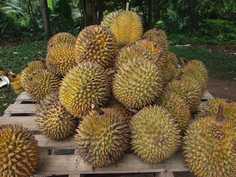 tree that smells like oranges why does the durian fruit smell so terrible science smithsonian