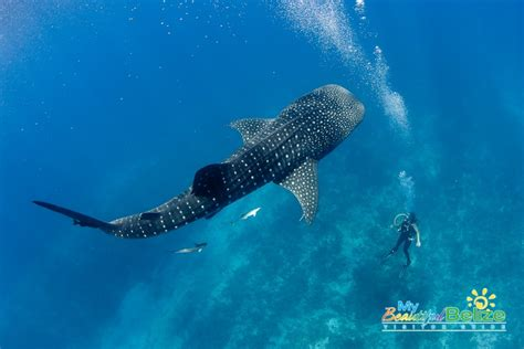 dive with whale sharks in search of the elusive whale sharks my beautiful belize