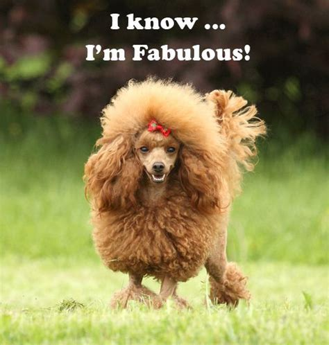 i dogs i i m fabulous poodle doggie pictures