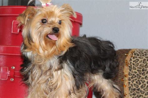 yorkie sizes size yorkie breeds picture