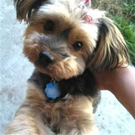 morkie haircuts long ears darla my morkie funny pinterest the o jays