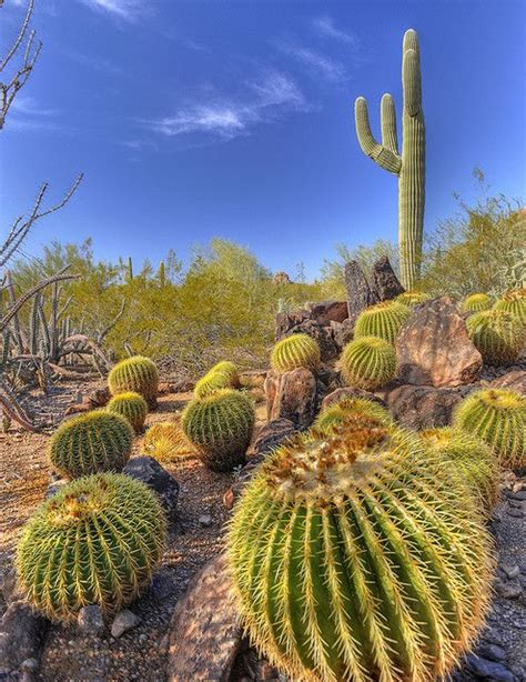 Botanical Gardens Arizona Barrel Cactus Landscape Taken At The Desert Botanical Gardens Az Photo Coastal