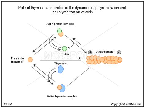 role of thymosin and profilin in the dynamics of