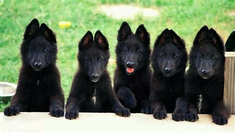 black shepherd black german shepherd essential facts pictures and