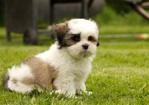 kyi leo puppies for sale maltese lhasa apso puppies memes