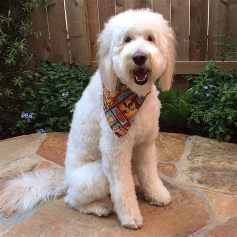 haircuts for dogs in andrews texas my goldendoodle after grooming yelp