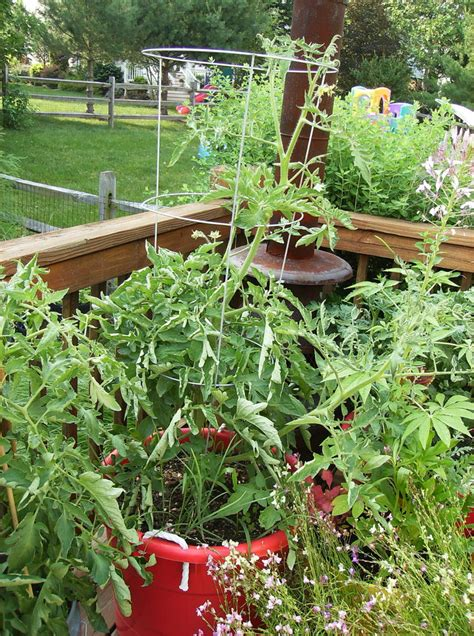 how to grow large tomatoes in containers