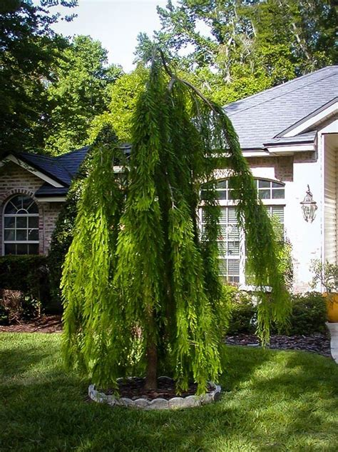 Plant Lovers cascade falls bald cypress the tree center