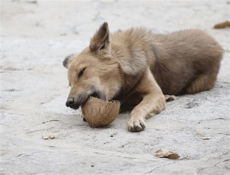 benefits of coconut for dogs benefits of coconut for dogs