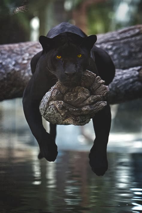 world of reading black panther this is black panther level 1 schwarzer panther black panther pantera negra leopard
