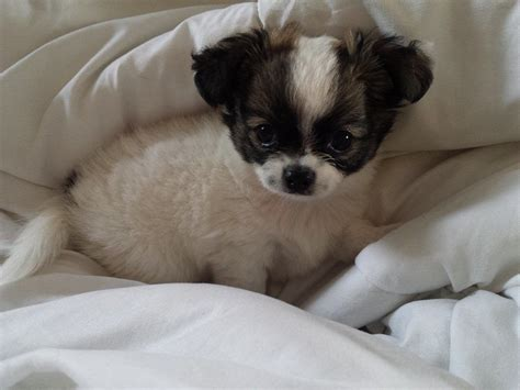 fluffy puppies for sale fluffy cihuahua puppies for sale huddersfield west pets4homes