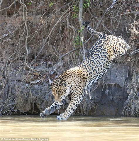 Water Jaguars Moment Jaguar Leaps From Brazil River Bank In Bid To Catch