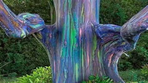 rainbow trees wonders rainbow eucalyptus