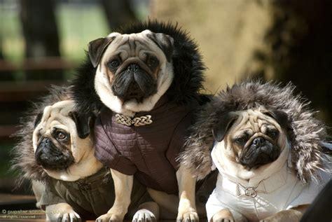 pug fashion pugs fashion