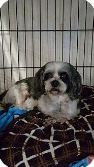 shih tzu rescue pa pottsville pa shih tzu meet max a for adoption