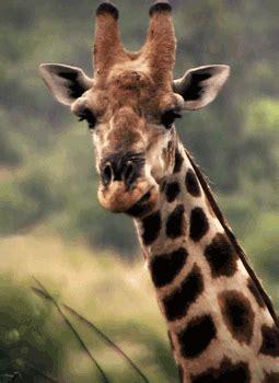 imágenes de jirafas bonitas gifs animados de jirafas gifmania