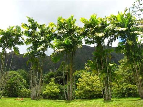 Hoomaluhia Botanical Garden by Trees Picture Of Hoomaluhia Botanical Gardens Kaneohe