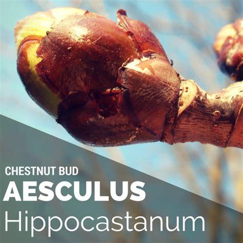 chestnut bud fiori di bach floriterapia con i fiori di bach il sito italiano di