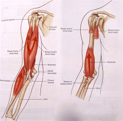 biceps diagram notes on anatomy and physiology one big tendon