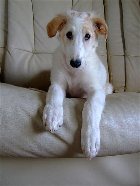 borzoi puppy borzoi info mixes temperament puppies pictures