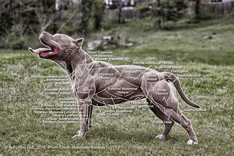 muscular dogs the anatomy of dogs everything you need to
