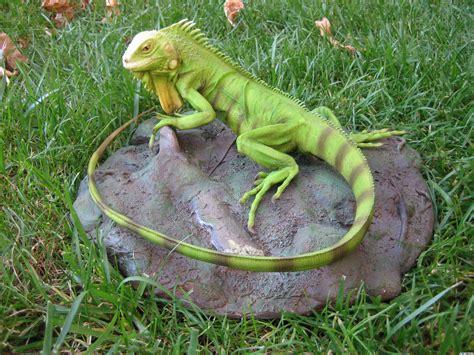 imagenes de iguanas verdes y negras las iguanas son animales muy territoriales lagartos
