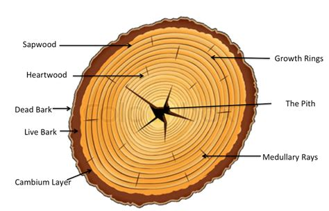 tree cross sections cross section of a tree tree growth and structure