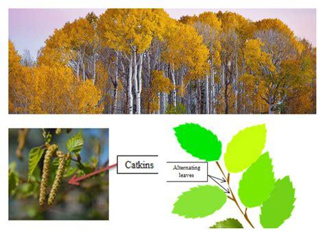 identify   common trees  michigan