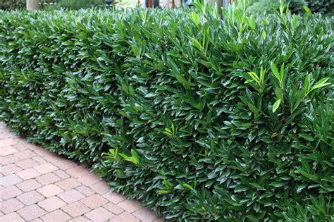 kirschlorbeer hecke welche sorte plants pflanzen versand plants