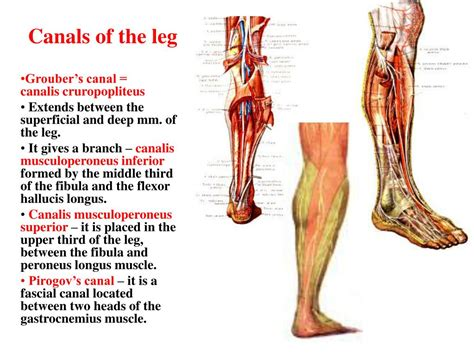 The Leg L by Ppt Functional Anatomy Of The Muscles Of The Limbs Powerpoint Presentation Id 702395
