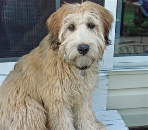 wheaton terrier puppy brutus the wheaten terrier dogs daily puppy