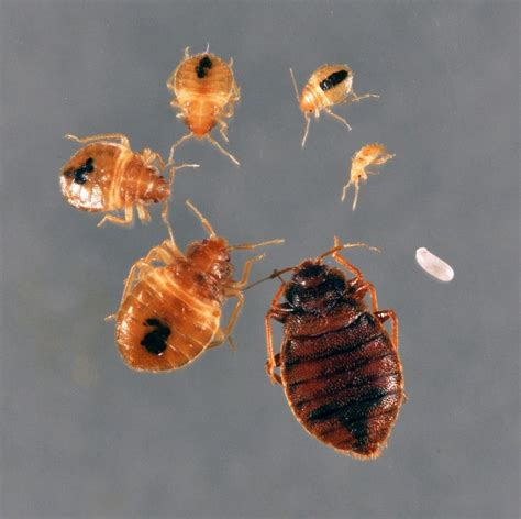 how long does it take for bed bugs to infest black diamond bed bug faq