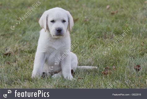 7 week lab puppy image of tiny 7 week yellow lab puppy