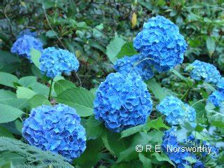 are hydrangeas poisonous to dogs common houseplants poisonous to cats grosir baju surabaya