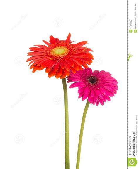 Gerbera Designs Xl Messenger by Two Flower Gerbera Stock Photo Image Of Colors Design