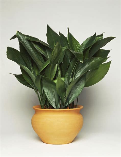 house plants low light 17 best ideas about low light plants on pinterest indoor