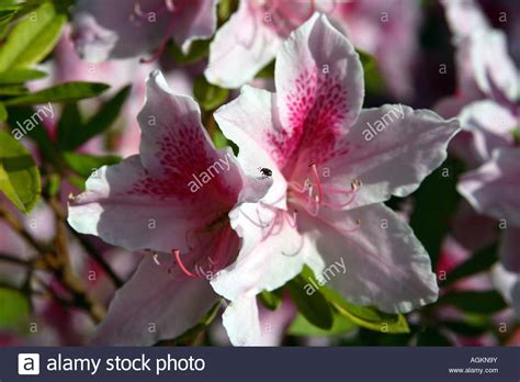 flowers that bloom only in winter pink and purple flowers bloom after late winter rains in northern stock photo 14235206 alamy