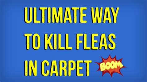 how to remove fleas from how to kill fleas in carpet naturally