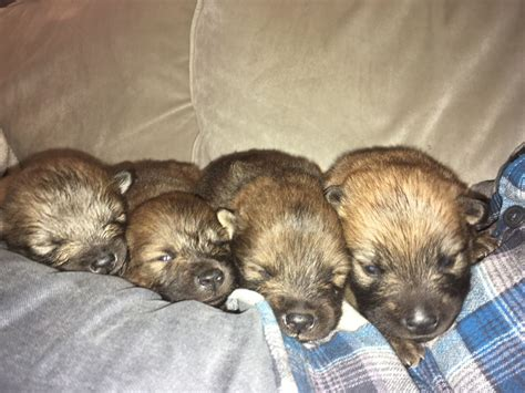 eurasier puppies for sale eurasier puppies st albans hertfordshire pets4homes