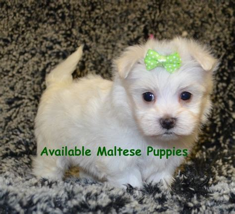 miniature maltese puppies for sale miniature schnauzer maltese puppies for sale