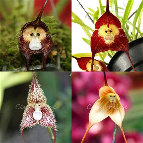 Affen Orchidee Kaufen by Monkey Orchid Flower Seeds