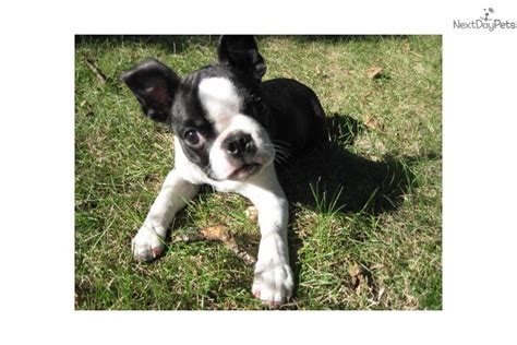 boston terrier puppies for sale near me boston terrier puppy for sale near city iowa d79a5748 71a1