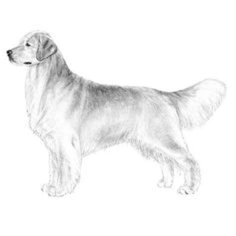 how to draw a realistic golden retriever puppy realistic golden retriever coloring pages how to draw a golden retriever 7 steps with